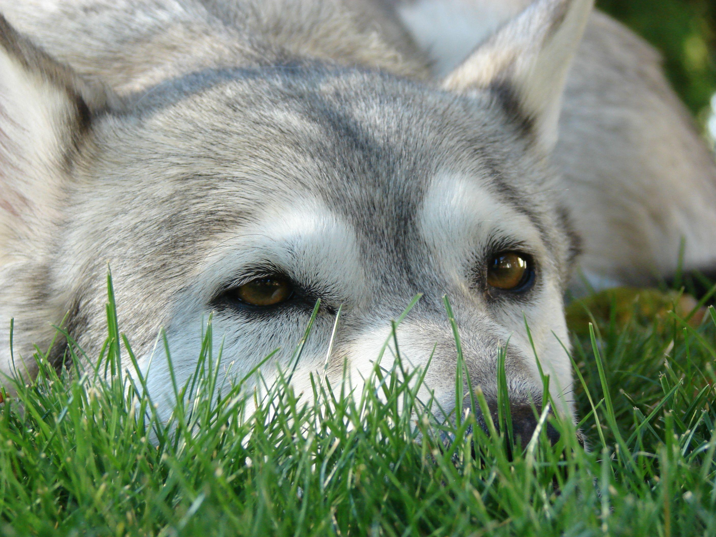 Alaskan Malamute Dog Photo Grey And White Alaskan Malamute Sam Photo And Wallpaper Beautiful