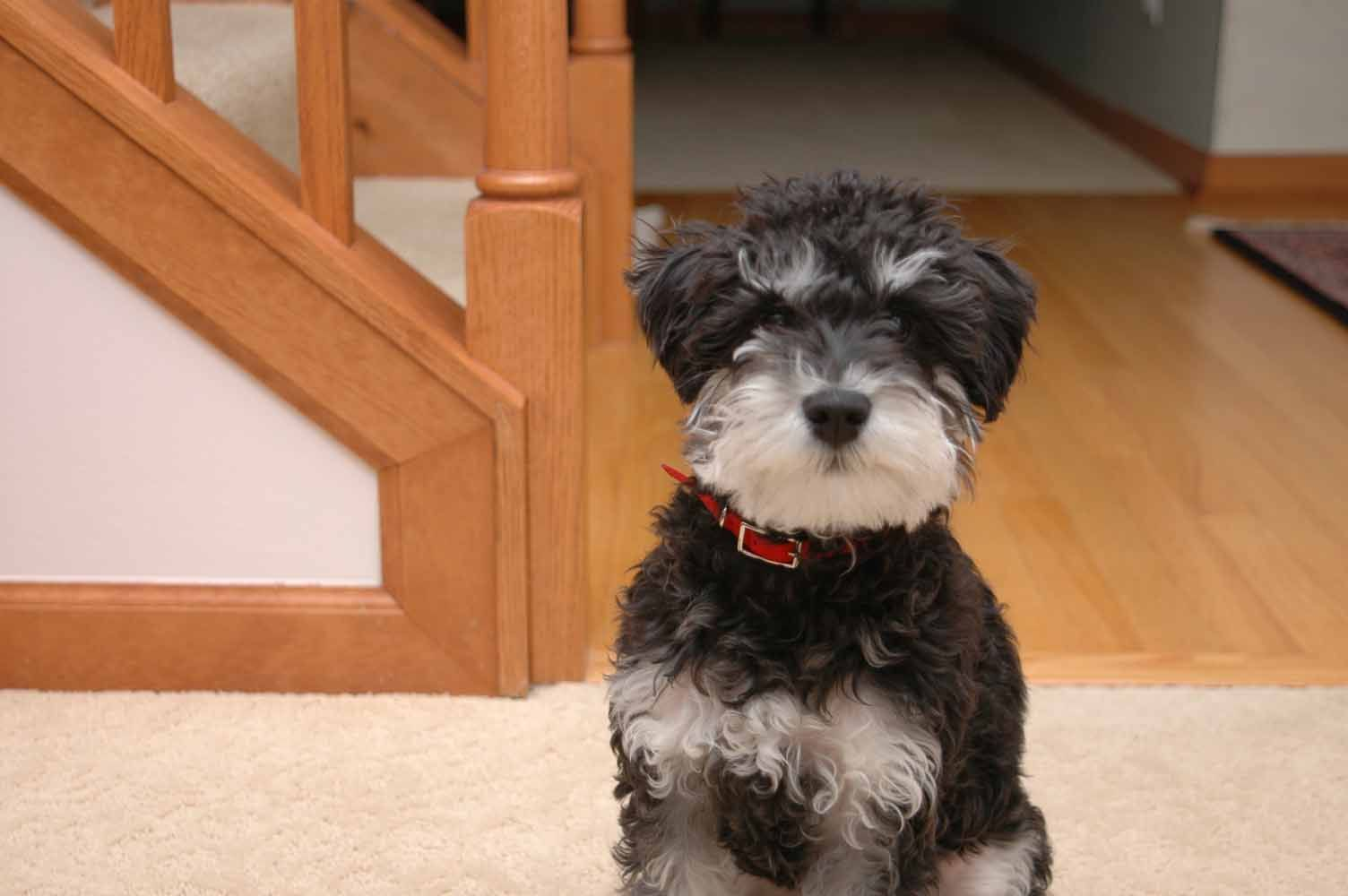 A Schnauzer Doodle And Poodle Mix So Cute But