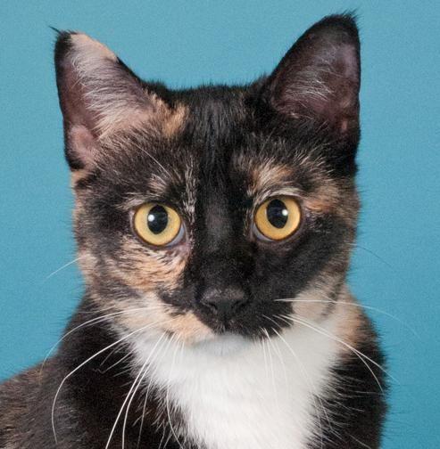 Adopt Poppy On Petfinder Cat Adoption Cat Has Fleas Pet Adoption