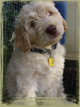 Cream Colored Australian Labradoodle Puppy 8 Weeks Old Australian Labradoodle Puppies Labradoodle Puppy Puppies