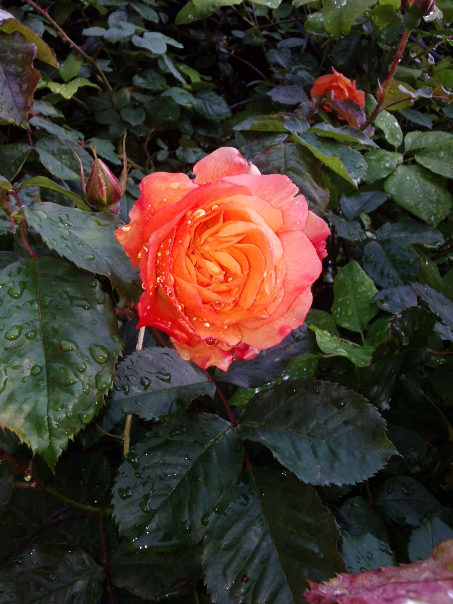 rosa Westerland,Apricot - orange.  Strong, clove, rose, spice fragrance.  20 to 30 petals. Bred by Reimer Kordes (Germany, 1969). Climber, Shrub.