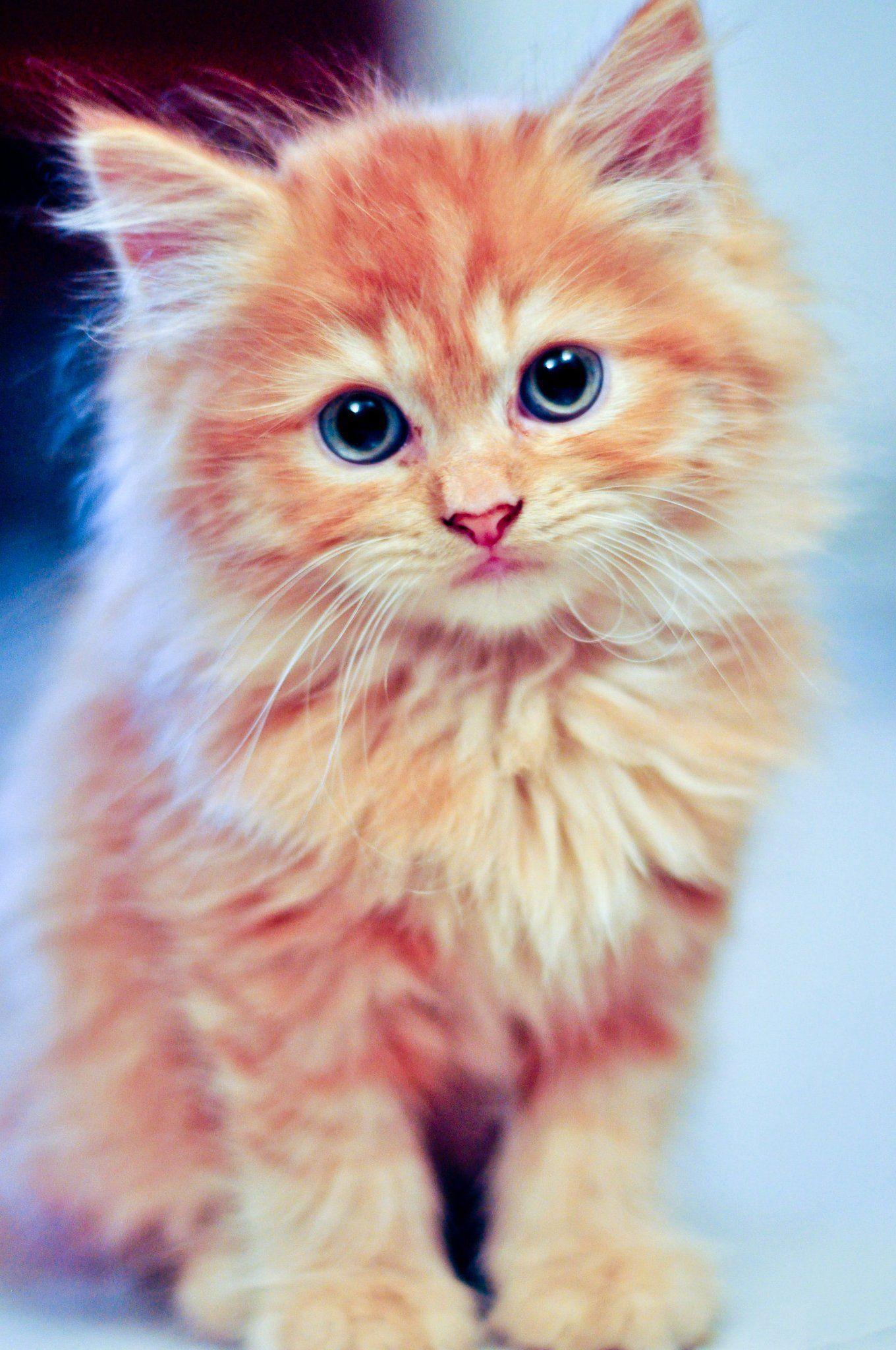 Cutypie kitten killing kitty cat orange blue eyes fluffy