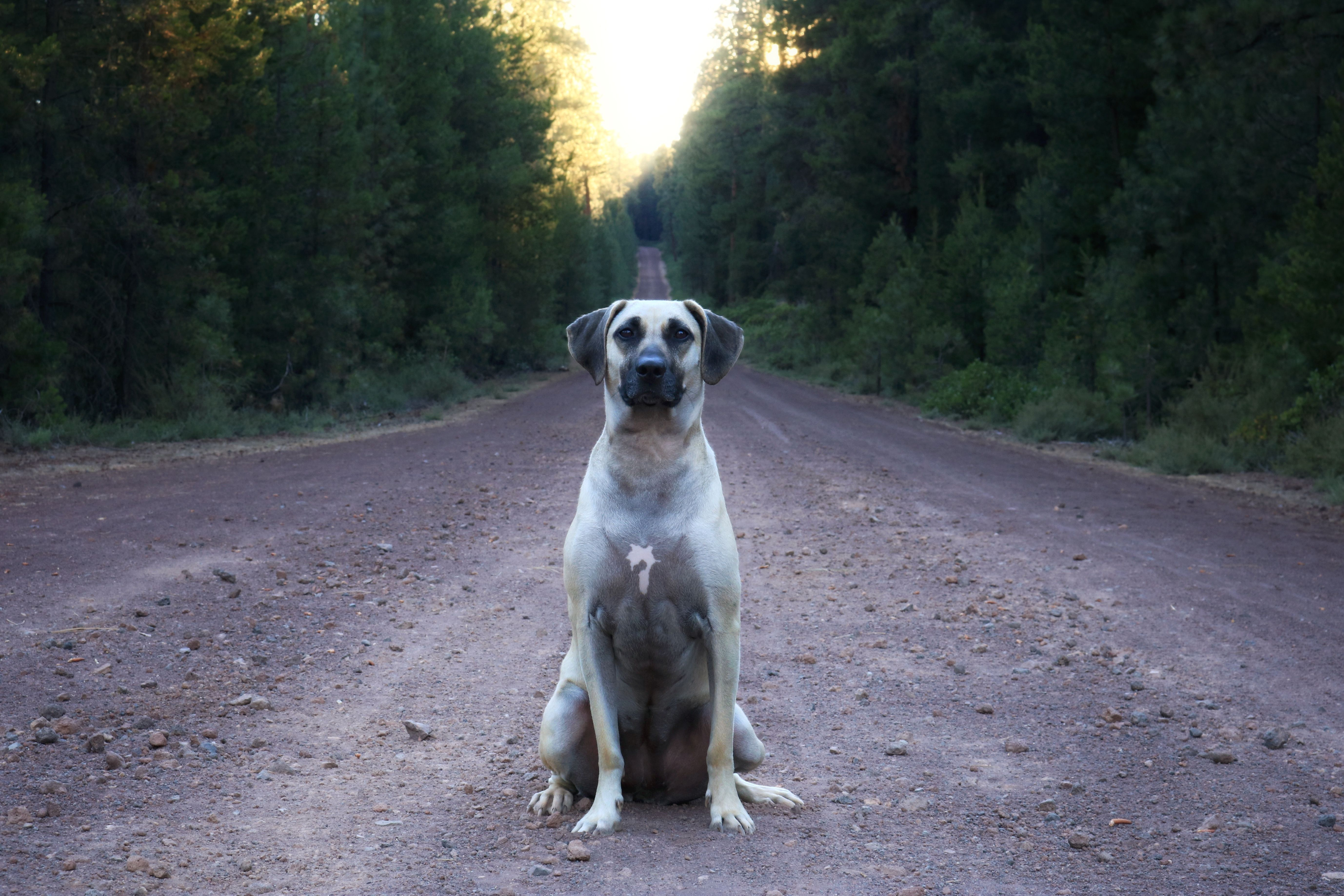 Dog Days of Summer #blackmouthcurdog Quinn taking up space on Forest Service Road in Deschutes National Forest. Cascade Lakes Highway, Oregon. Black Mouth Cur dog. #blackmouthcurdog