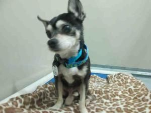 Adopt Mason On Chihuahua Dogs Animals Chihuahua