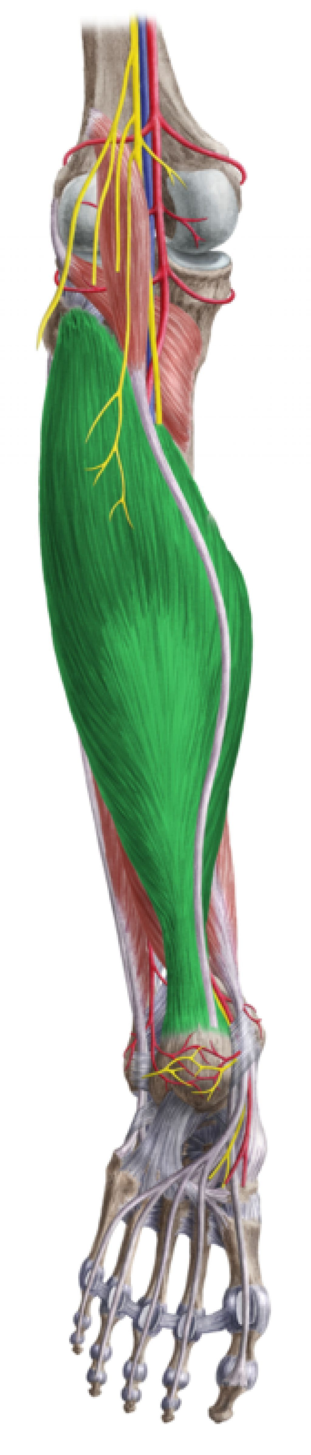 Triceps Surae Muscle | Anatomy | Pinterest | Muscles, Muscle anatomy ...
