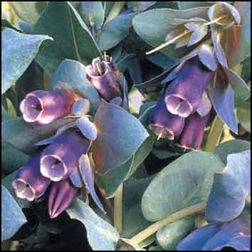 Isovahakukka 'Pride of Gibraltar'/Cerinthe major ssp. purpurascens. Exotic Garden.
