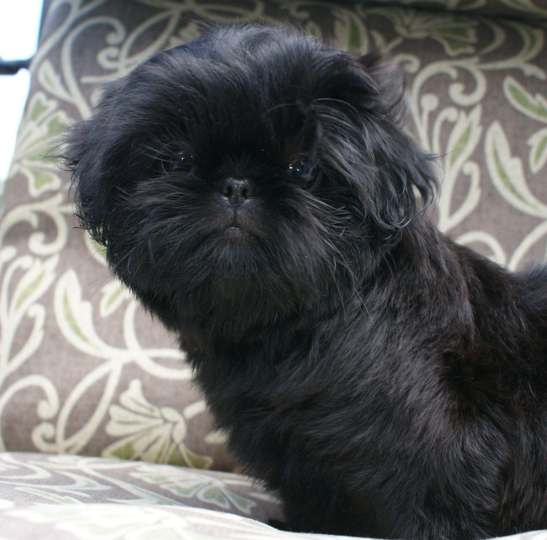 Black Shihtzu Shih Tzu Puppy Shih Tzu Black Shih Tzu