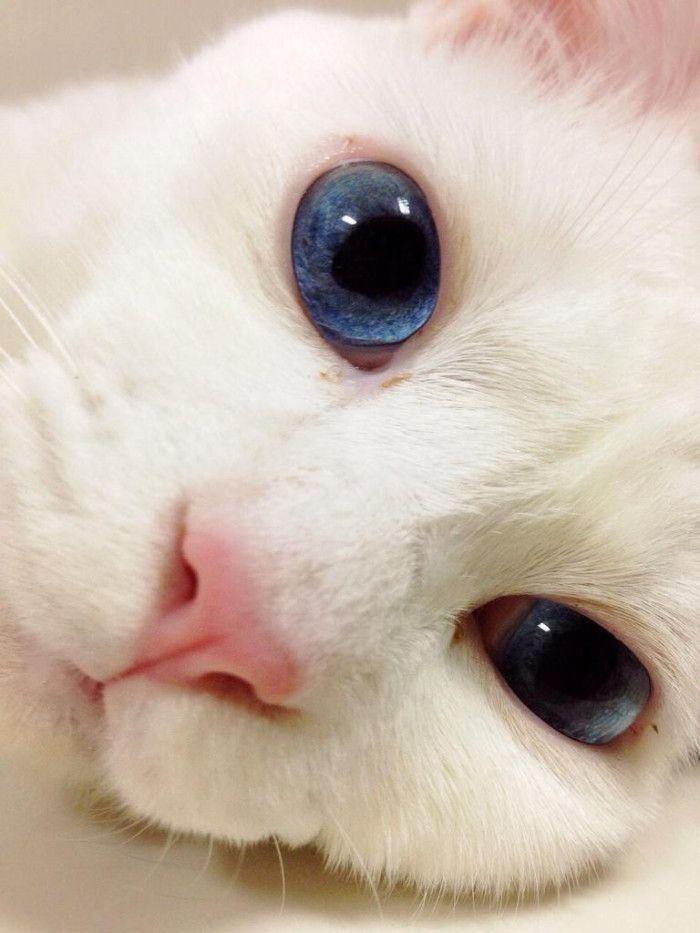 イラストレーターのminoさん家の白猫「雪(セツ)」ちゃん。
