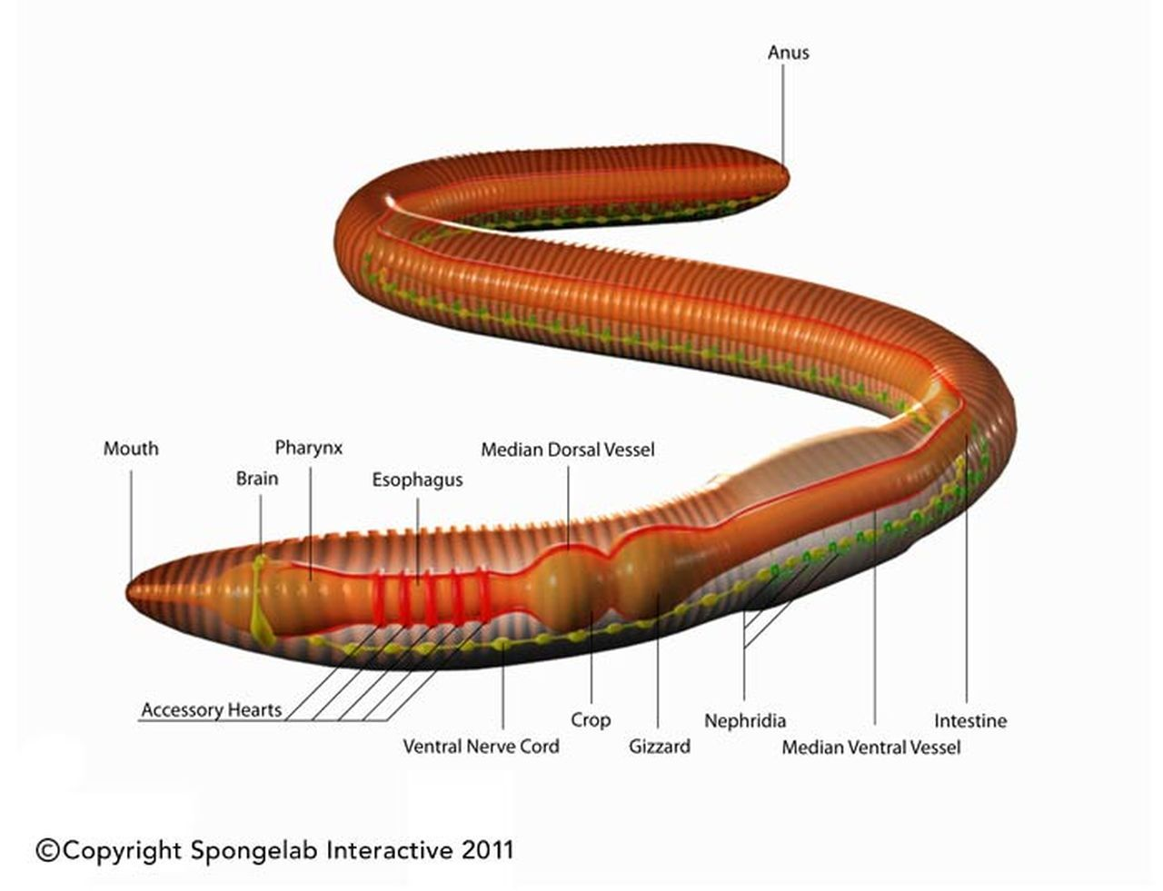Worm Anatomy