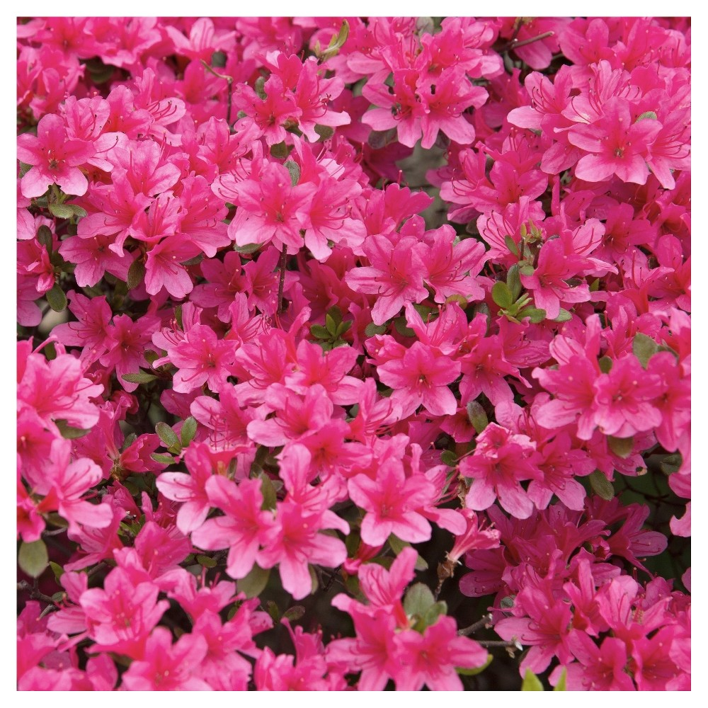 Floramore Azalea Hot Pink 1pc National Plant Network U S D A Hardiness Zones 7 9 Flower Bed Plants Blooming Plants Pink Azaleas