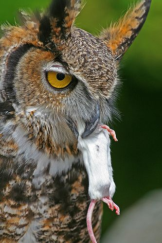 What do great horned owls eat learning about life for Food bar owl