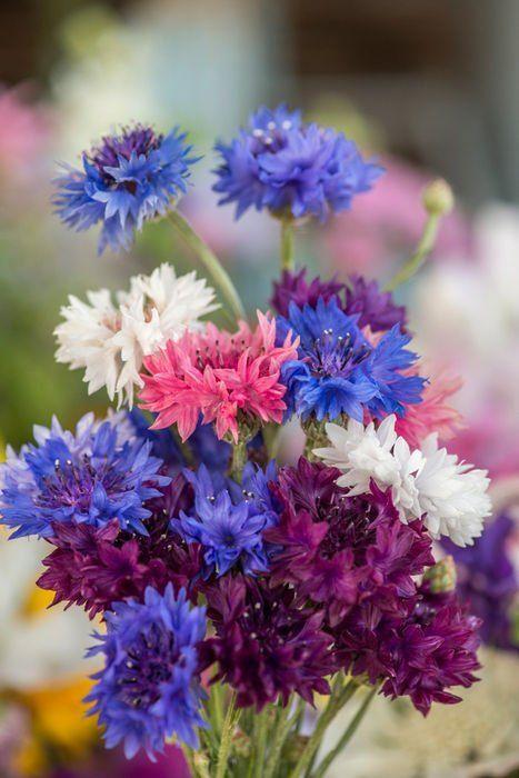 Búzavirág: A remény, a szellemi világosság, a tiszta gondolatok jelképe.