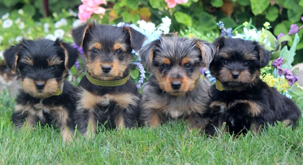Puppies – Yorkie Mix – Sal 20 Puppies for Sale in PA | Keystone Puppies