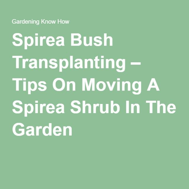 Spirea Bush Transplanting Tips On Moving A Shrub In The Garden