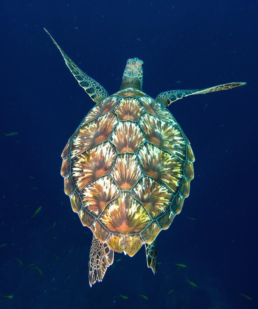 Happy #turtletuesday  #instafish #hawksbill #turtle #thailand #uwphotography #oceanlife #earthadventure #scubaaddict #thesea