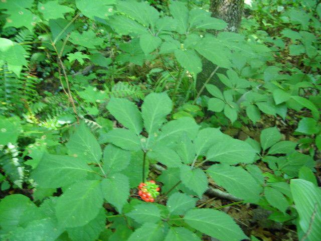Native Plant Spotlight American Ginseng Wild Araliaceae Family Status L48 N Can Alabama Gardening Forum Gardenweb