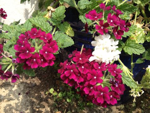 verveine fleurs verbena fleur plantation entretien au jardin verveine fleur du jardin. Black Bedroom Furniture Sets. Home Design Ideas