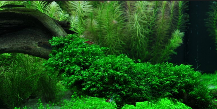 Java Moss In The Aquarium Planted Aquarium Fish Tank Plants Plants