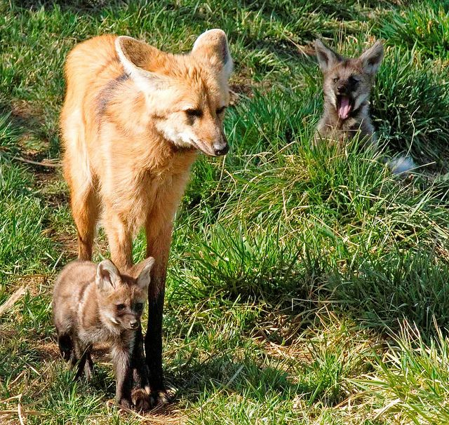 Maned wolf pup