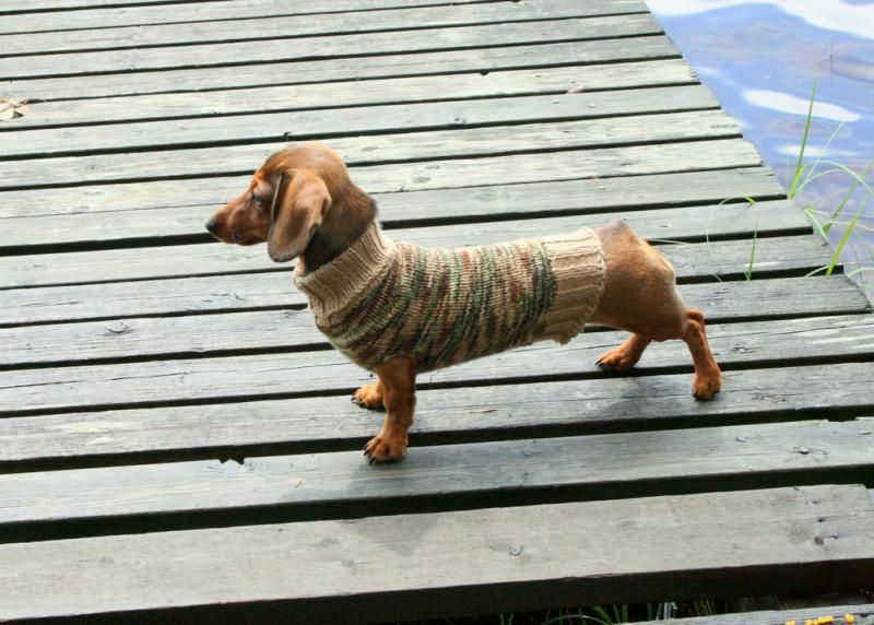Dock Dachshund In A Sweater But Where S The Tail Crazy Dog