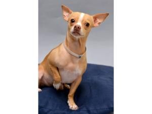 Adopt Mason On Chihuahua Dogs Chihuahua Dog Love