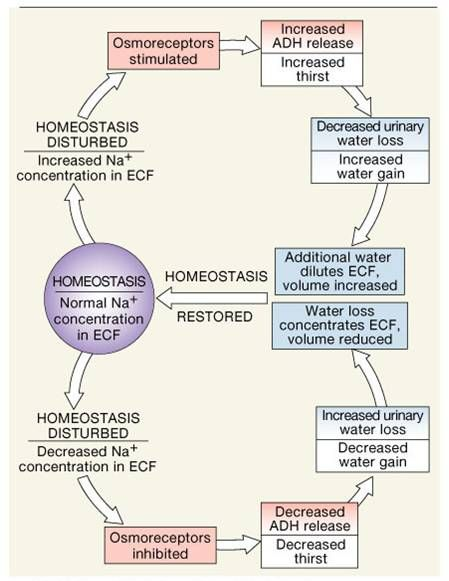 Electrolyte fluid balance great ch outline also medical rh pinterest
