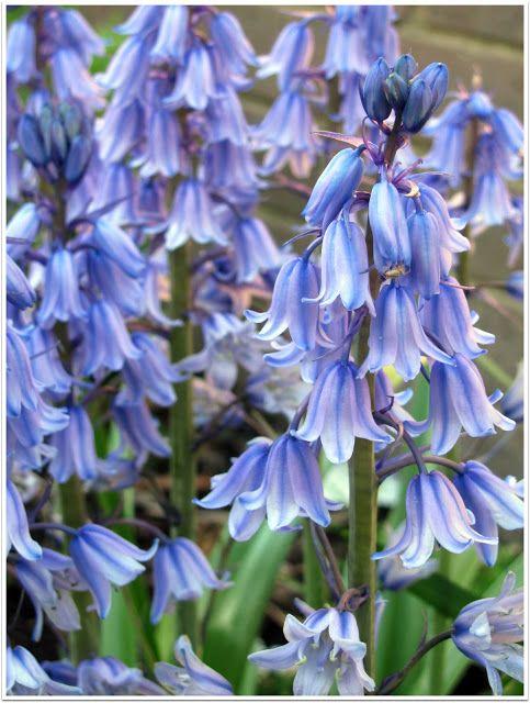 Royal Bluebells State Flower Of The Australian Capital