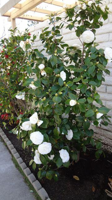 D J Agle Extended Family Camellias Camellia Plant White Camellia Camellia