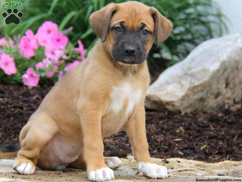 Selda Boxer Mix Puppy For Sale In Honey Brook Pa Boxer Mix