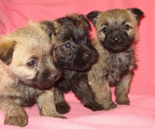 Pug And Cairn Terrier Cairn Terrier Pug Mixed Breeds Terrier
