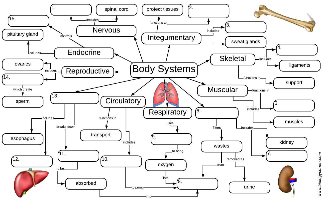 Graphic organizer over the body systems school