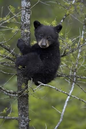 Black Bear (Ursus Americanus) Cub of the Year or Spring Cub in a Tree, Yellowstone National Park Photographic Print by James Hager at Art.com