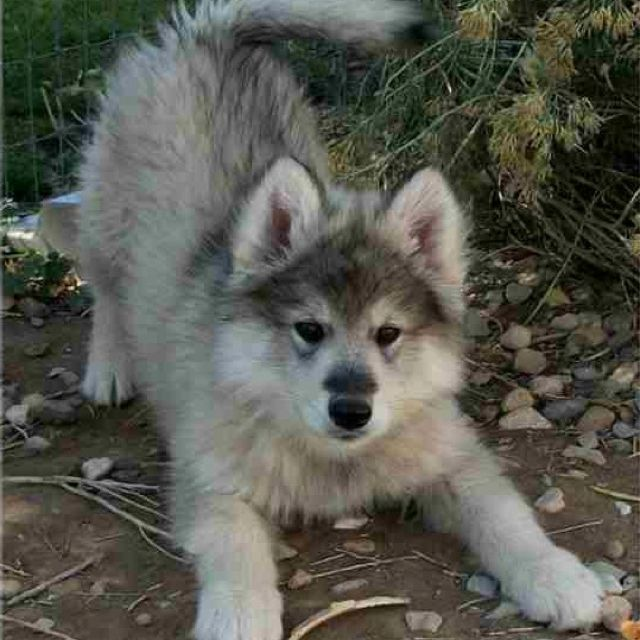 Wolamute Pup Timber Wolf And Malamute Mix Will Have One Of These