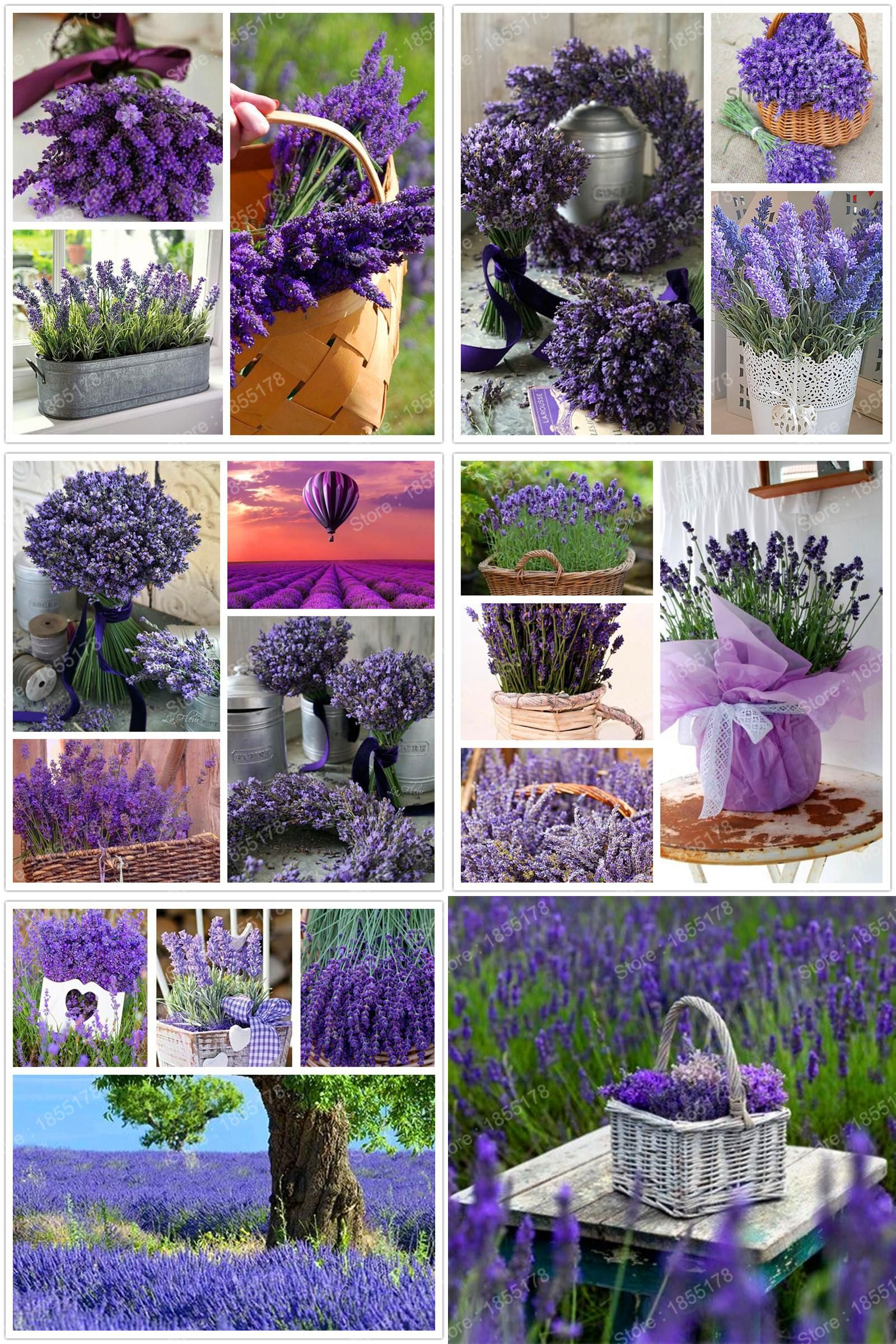 Visit To Buy Wholesale 100pcs Bag English Lavender Flower Seeds Rare Purple Lavender Bonsai Plant Best Gift Flowe Flower Seeds Lavender Flowers Bonsai Plants