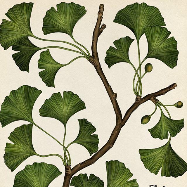 Image result for symbolism of ginkgo leaf