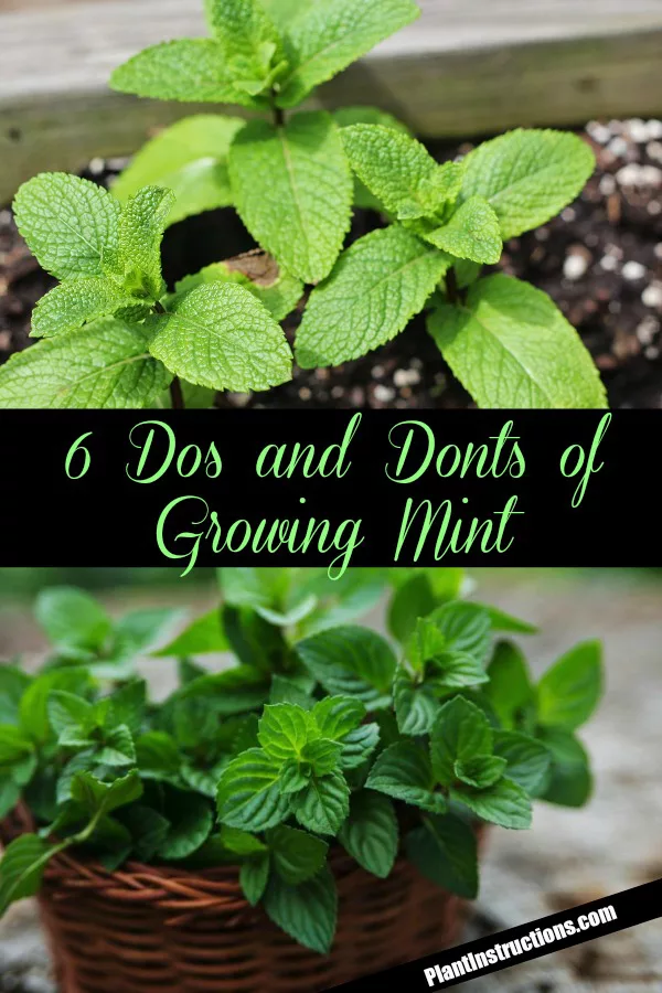 The Dos And Donts Of Growing Mint Growing Mint Mint Plants Growing Mint Indoors