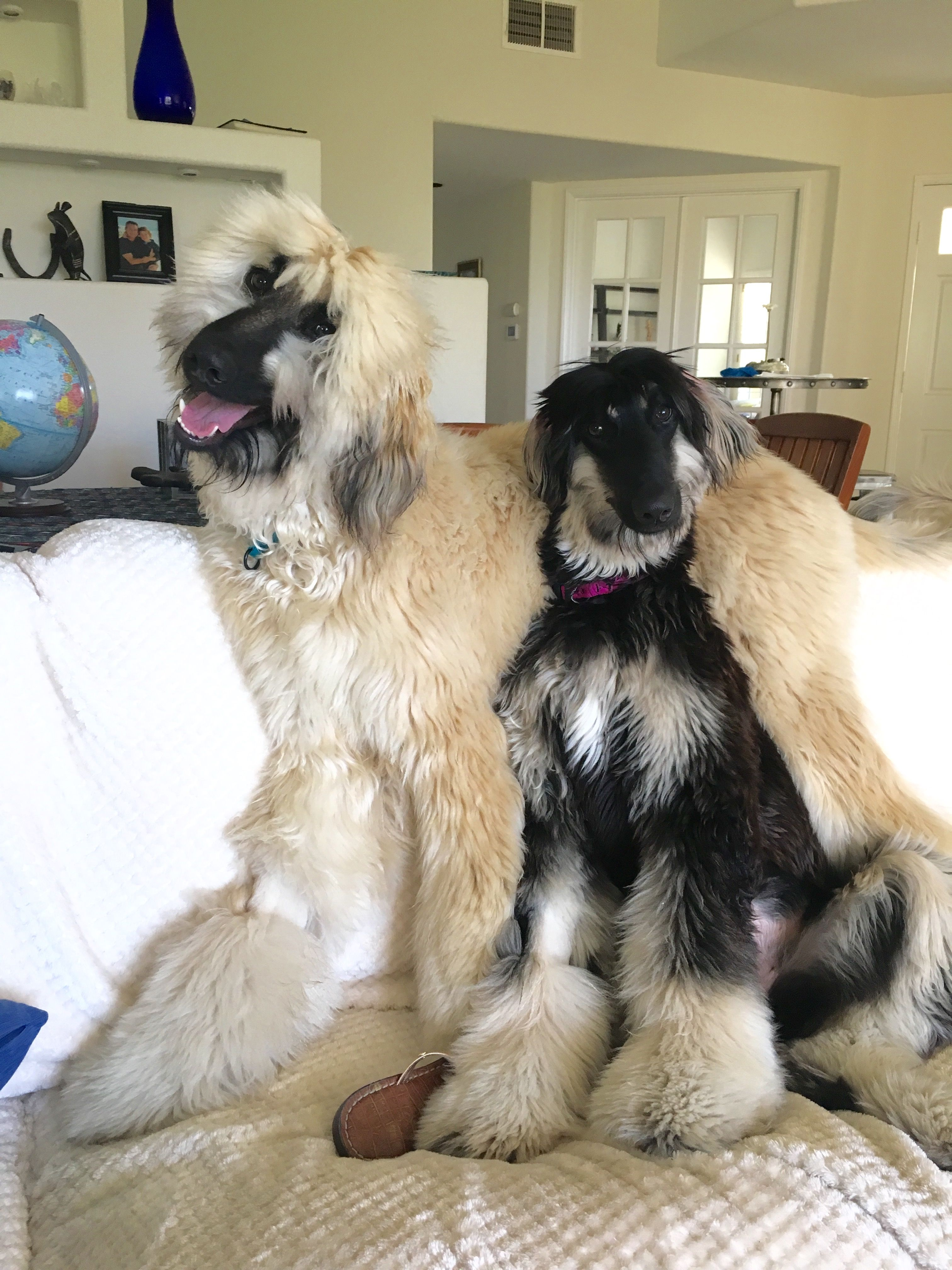 Afghan Hounds Afghan Hound Puppy Afghan Hound Beautiful Dogs