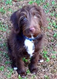 German Wirehaired Pointing Vizsla German Wirehaired Pointing