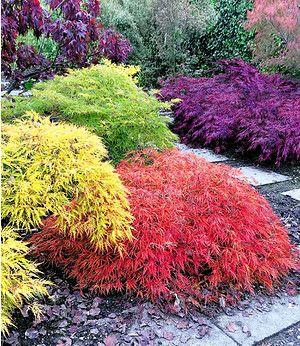 Japanische Ahorn Kollektion Mount Fuji 4 Pflanzen Japanische Gartenpflanzen Japanischer Garten Bepflanzung