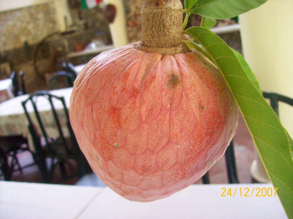 mamon - Google Search | Frutas de la República Dominicana ...