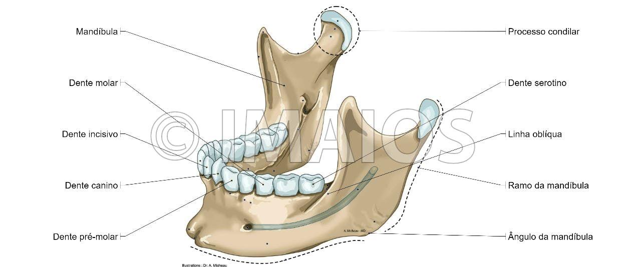 Mandible Mental Protuberance Digastric Fossa Ramus Of Mandible Mandibular Canal Condylar Process Anatomia Da Cabeça Anatomia Dental Cabeça E Pescoço
