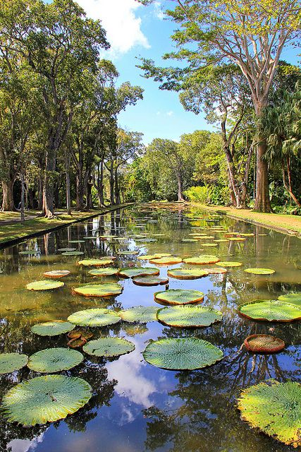 Mauritius Giant Water Lilies In The Pamplemousses Botanical