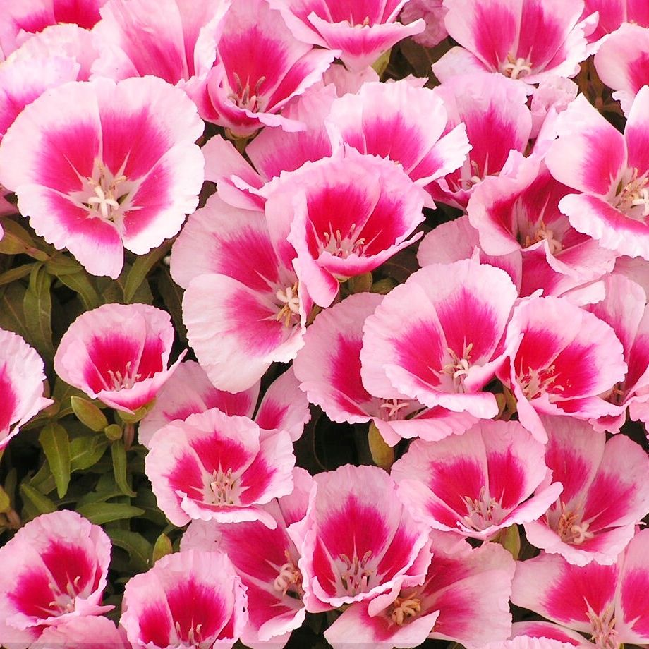 Godetia Farewell To Spring Seeds Clarkia Amoena Flower Seeds Flower Seeds Online Flower Pot Design