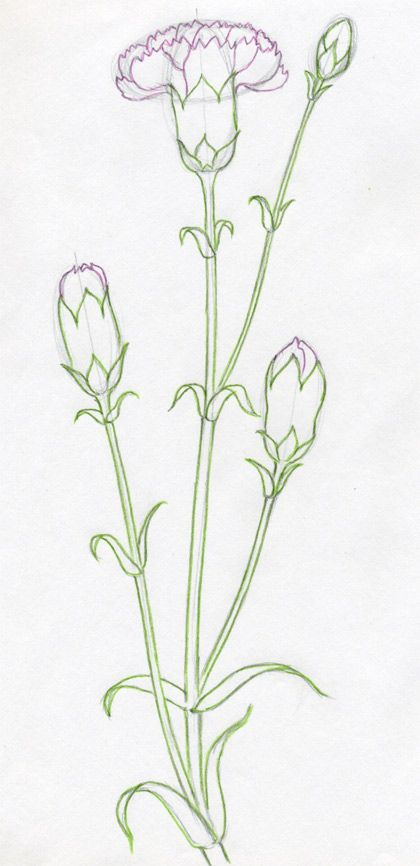 How To Draw Carnation19 Jpg 420 866 Flower Drawing Carnation Drawing Drawings