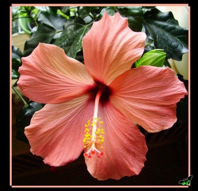 Peach Pink Hibiscus | Hibiscus flowers, Hibiscus ...
