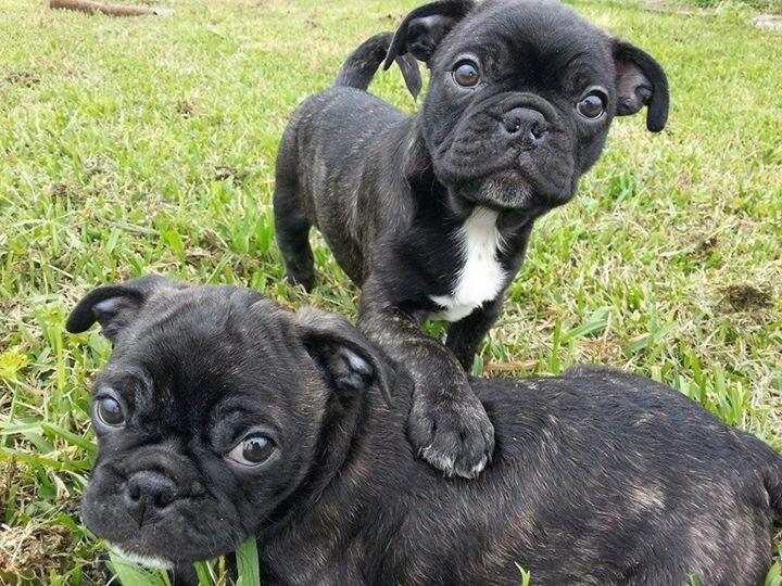 Uncommonly Colored English Bulldog Black English Bulldog Bulldog Puppies