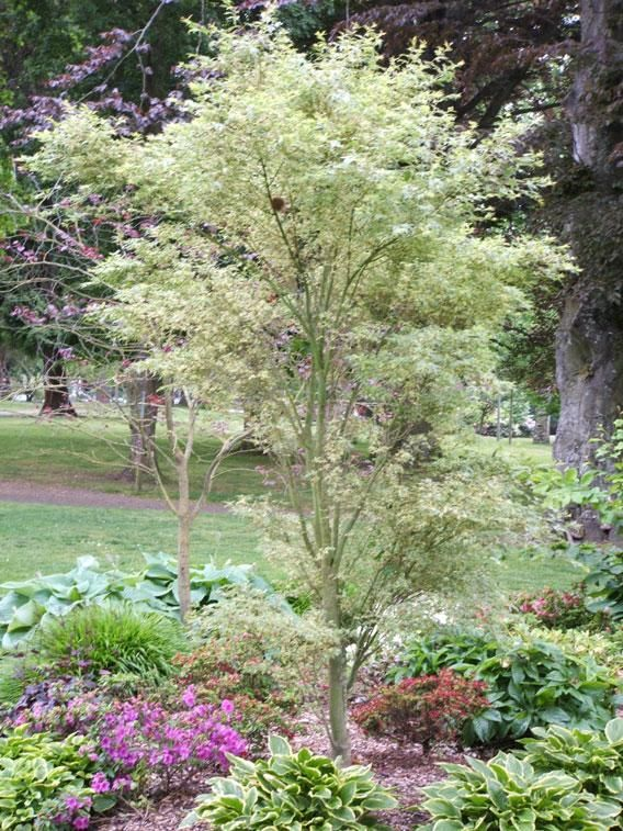 Entry porch acer palmatum 39 butterfly 39 might look nice for Great small trees