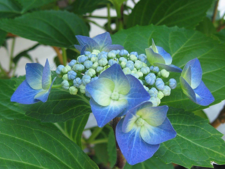 Resultado de imagen de hortensia flor   Flores   Pinterest ...