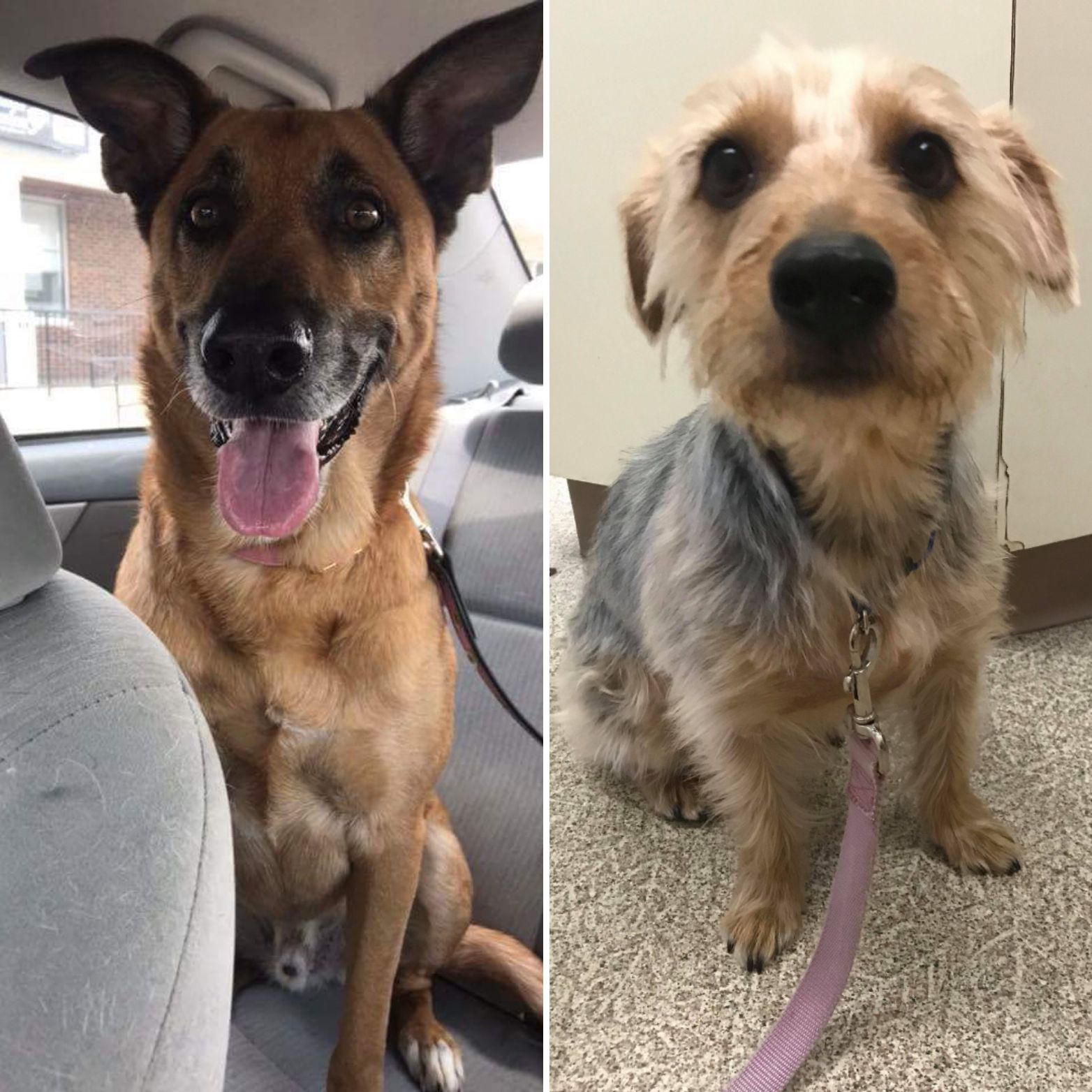Adopt ADOPTED! Max & Rocky on Shepherd mix dog, Yorkie