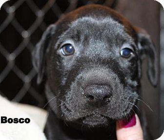 Labrador Retriever Boxer Mix Puppy For Adoption In Livonia